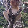 Baby proboscis monkey at Bako National Park, Sarawak